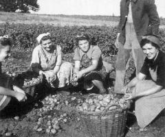 Kartoffelernte 1947